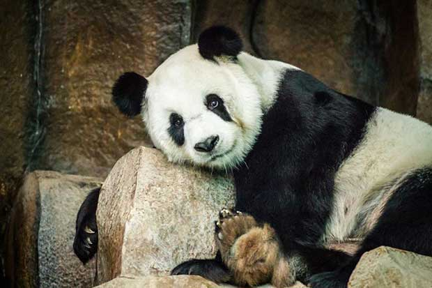 Xuang Xuang (©Cheewin Sattha)