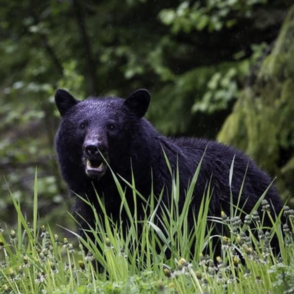 bear (©Pete Nuij)